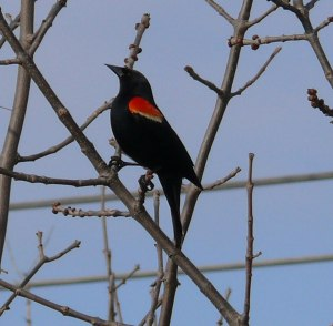 Red-winged-black-bird