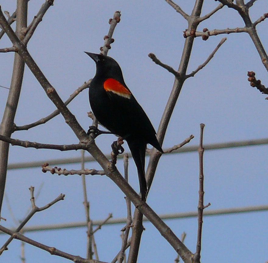Red-winged-black-bird