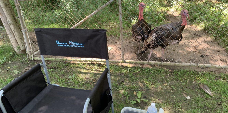 Turkeys in line